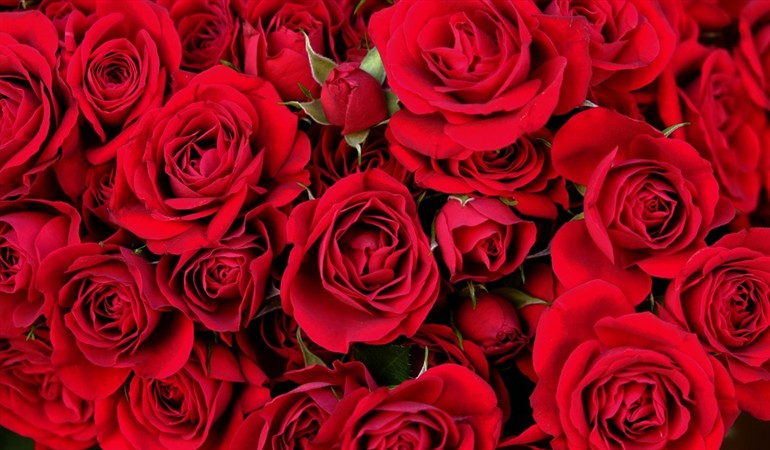 Helping the most vulnerable families in the country, while giving away red roses exporting quality